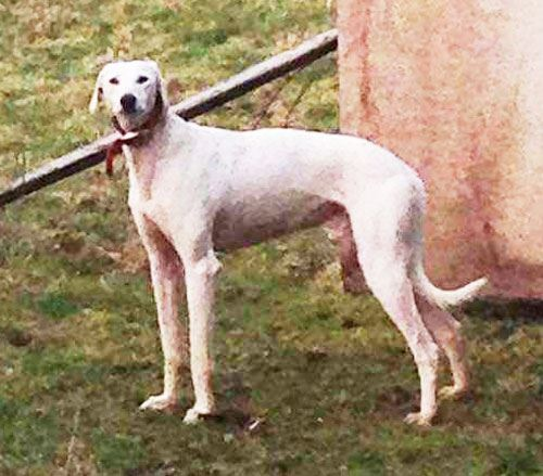 Can you give Found Lurcher a new home