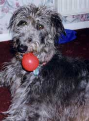 Photo for Brogan is a beautiful deerhound