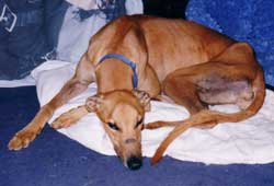 Photo for Chester, a lovely big greyhound, enjoying a relaxing moment