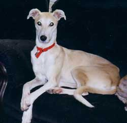 Photo for Fudge is a lovely saluki/greyhound/labrador
