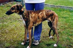 Photo for Hugo, a greyhoujd/saluki was found with the letters MUFC tattoed on his coat with bleach when he was rescued