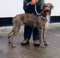 Photo for This is Jake, a wolfhound/greyhound