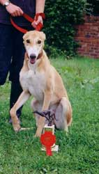 Photo for Beautiful saluki/greyhound Jay with her 1st prize rosette