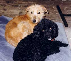 Photo for Penny the poodle with her friend Mia, an Italian greyhound/terrier