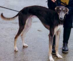 Photo for Mouse , a saluki/greyhound has very rare colouring