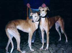 Photo for Poppet and Freckles are both saluki/greyhounds