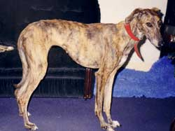 Photo for This is Rose, a saluki/greyhound