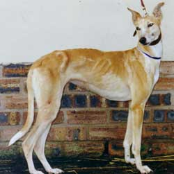 Photo for Star is an elegant collie/whippet/greyhound