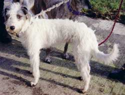 Photo for Here is Tess. She is a bedlington/whippet/collie