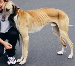 Photo for This is Theo soon after he was rescued. He is a saluki/greyhound