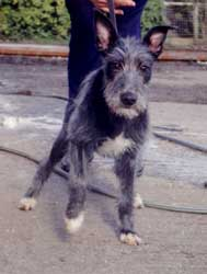 Photo for Till is a bedlington/collie/whippet