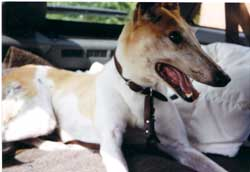 Photo for Vicky, an 11 year old greyhound, was left on an allotment