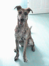 Photo for Ziggy was in a terrible state when he was rescued, but as you can see, he is a happy and much loved lurcher now