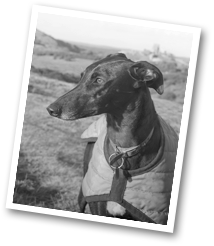 Greyhound and Lurcher Rescue, Jade the lurcher